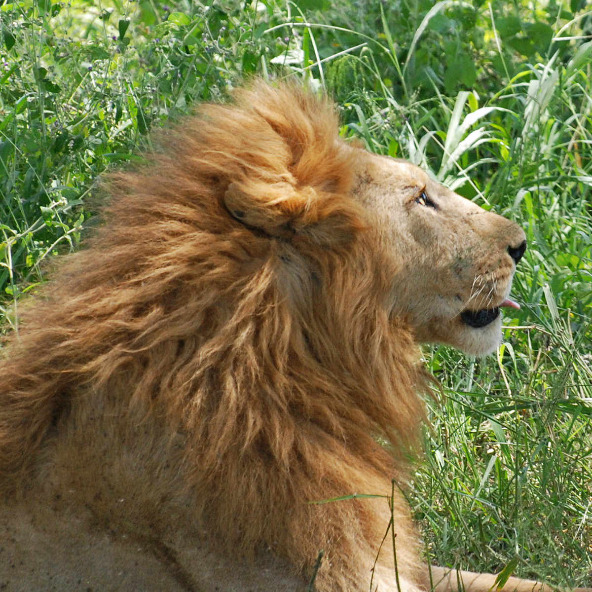 Lion in Serengeti region in Africa