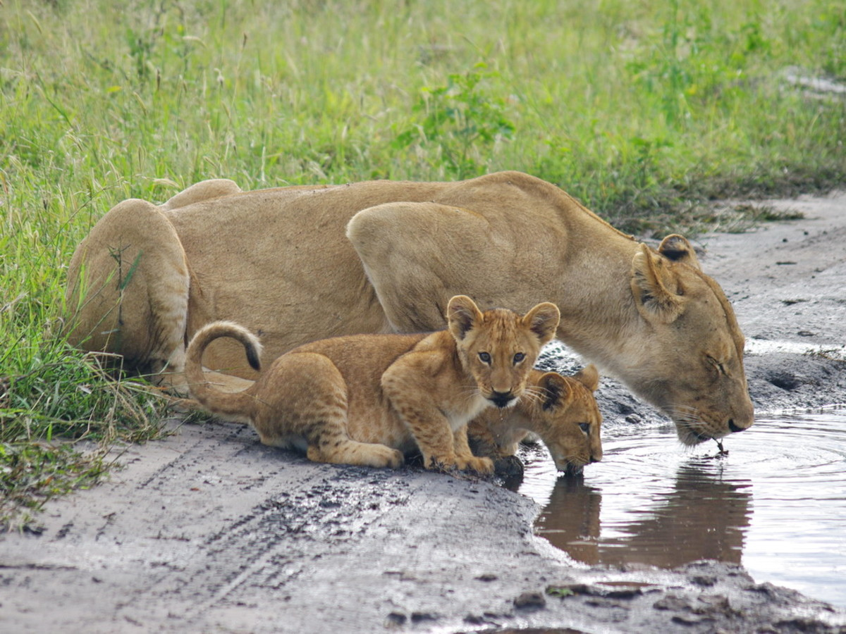 Lioness and cubs getting a drink in Chobe National Park, Botswana