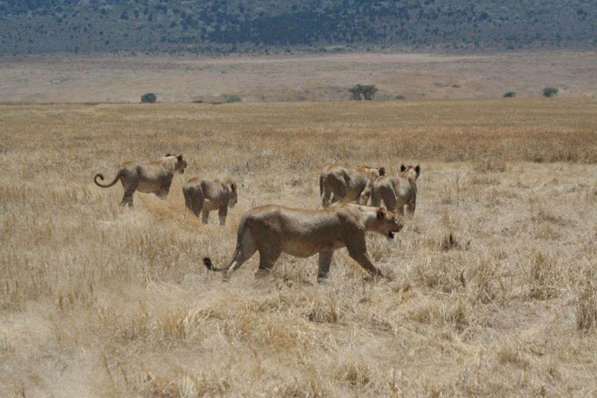 Lionesses hunting in the Ngorongoro