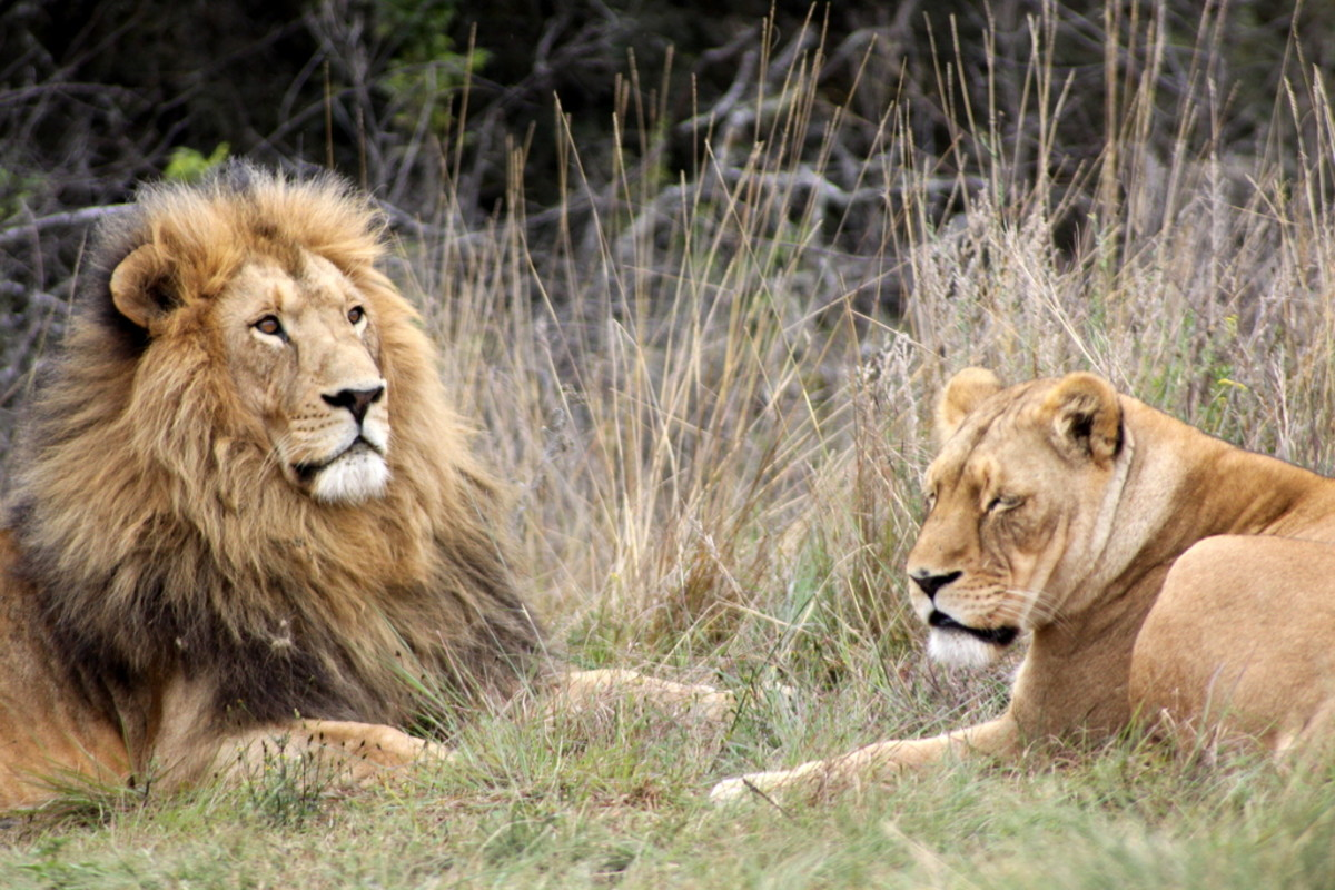 Male and female lion at Krugersdorp Game Reserve in South Africa