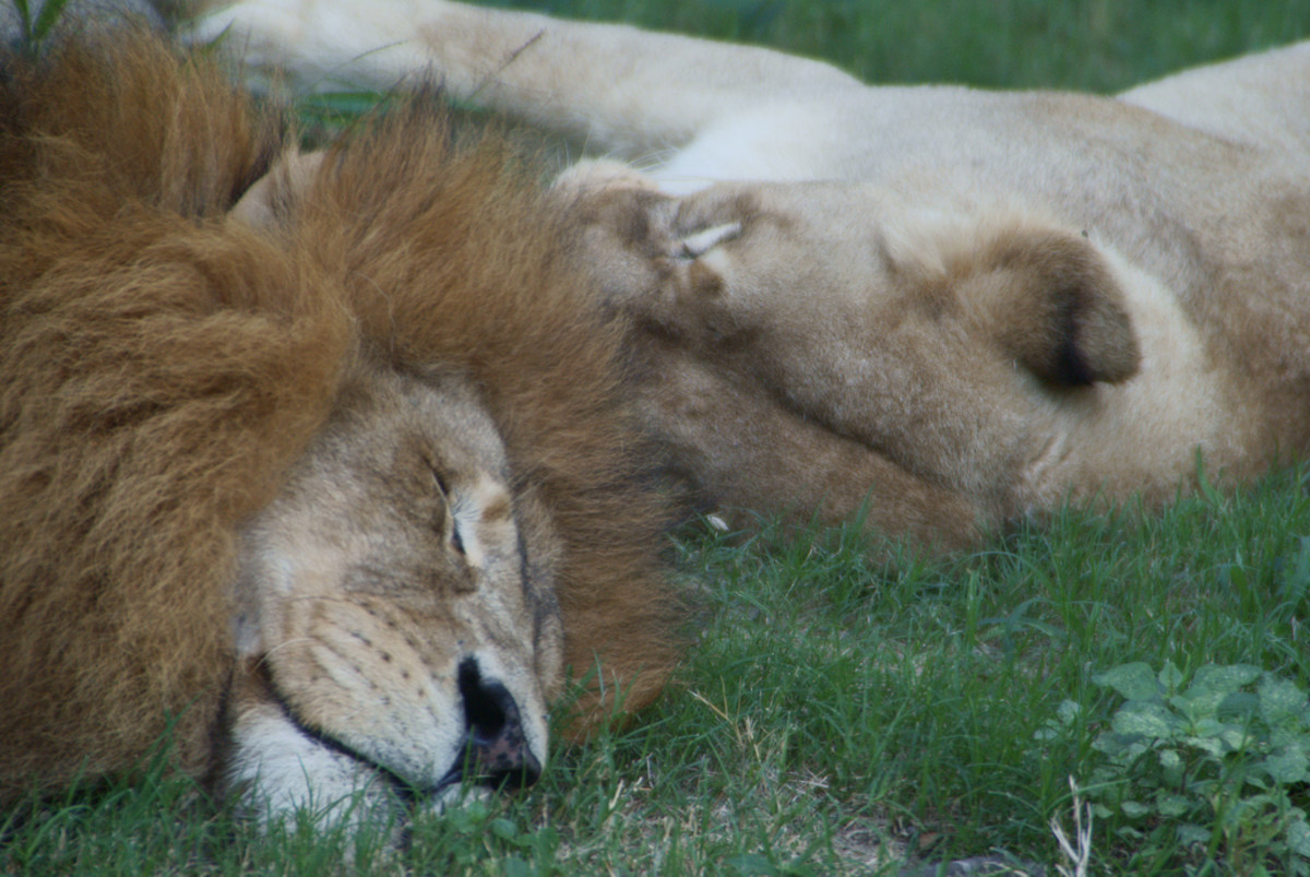 Lion and lioness napping at the Houston Zoo