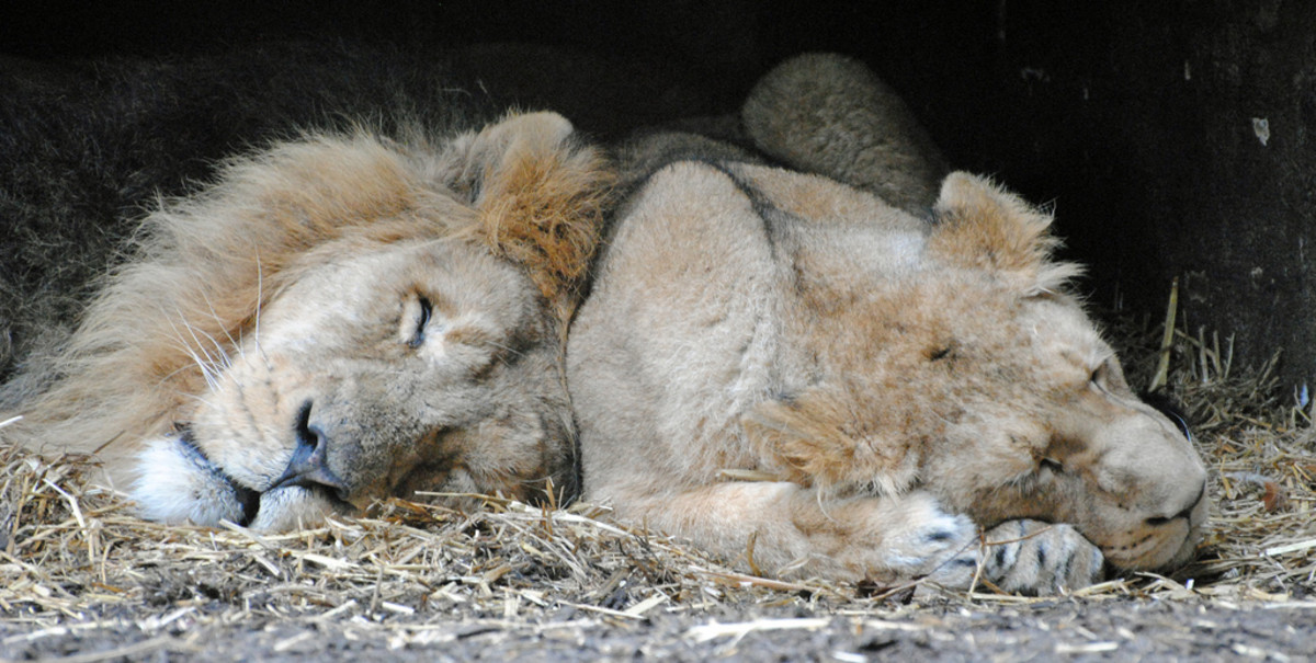 Lion and lioness sleeping at the London Zoo
