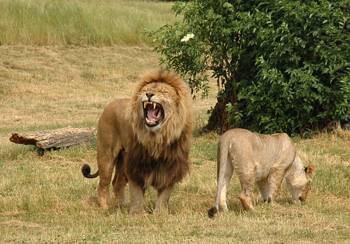 Pair of lions in West Midlands Safari Park