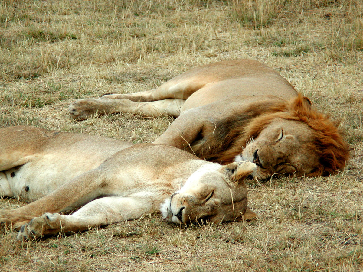 A lion and a lioness sleeping in the Serengeti