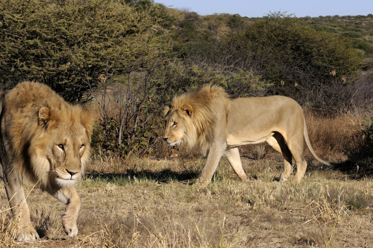 Male lions at Kavita Lion Lodge, Namibia