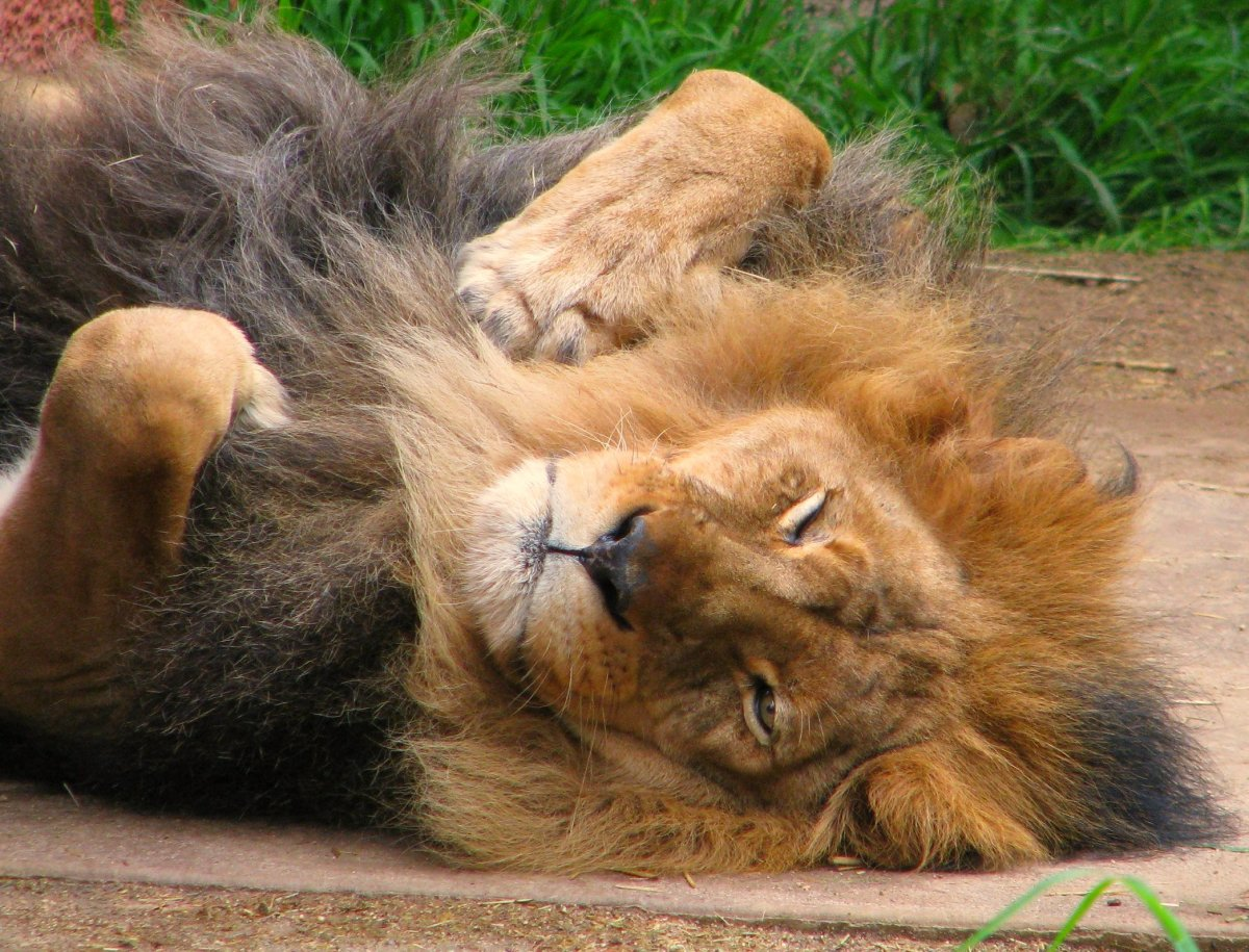 Lion sleeping on his back
