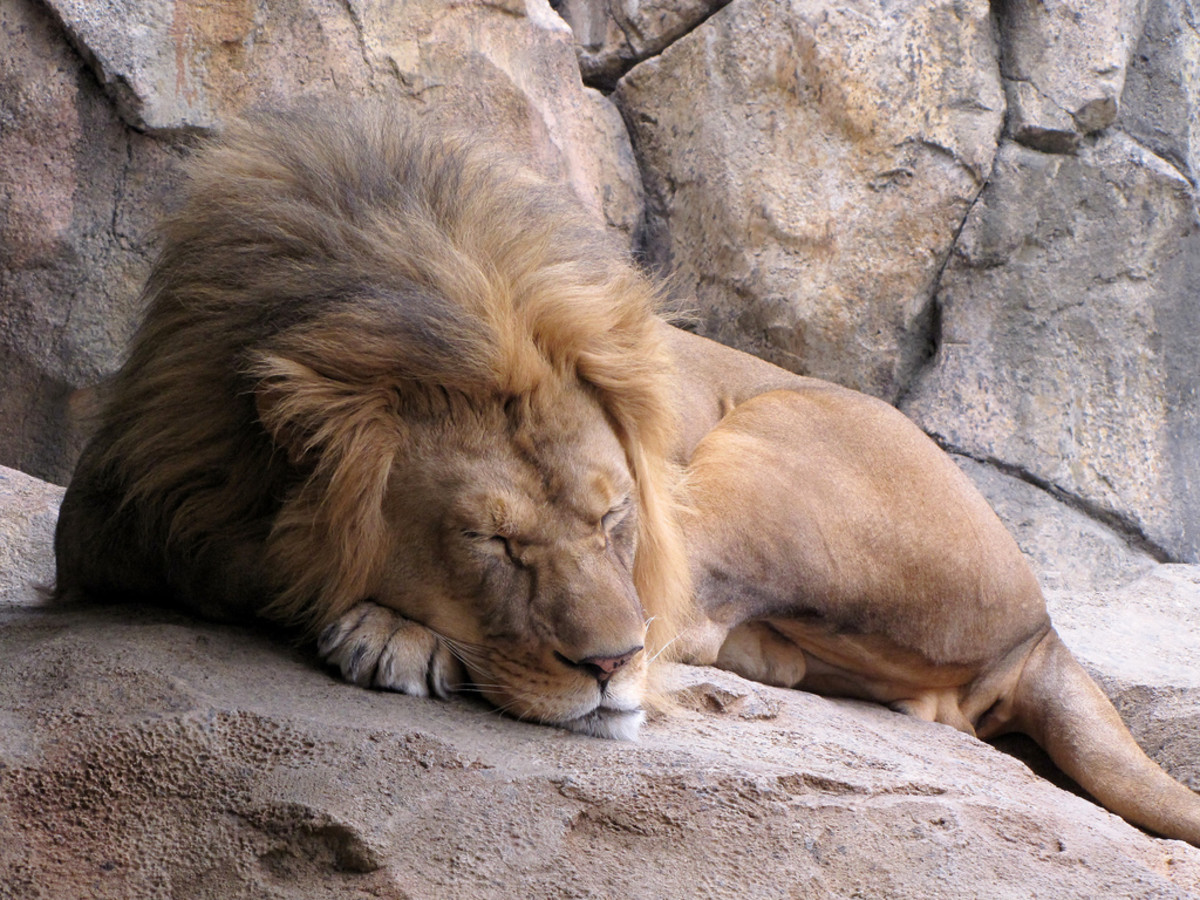 Lion sleeping at the Milwaukee County Zoo in Wisconsin