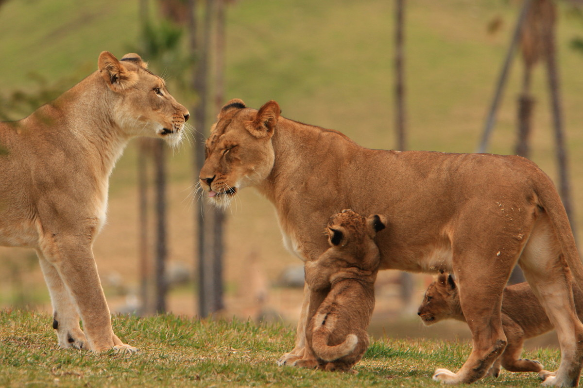 Two female lions and cub at San Diego Wild Animal Park