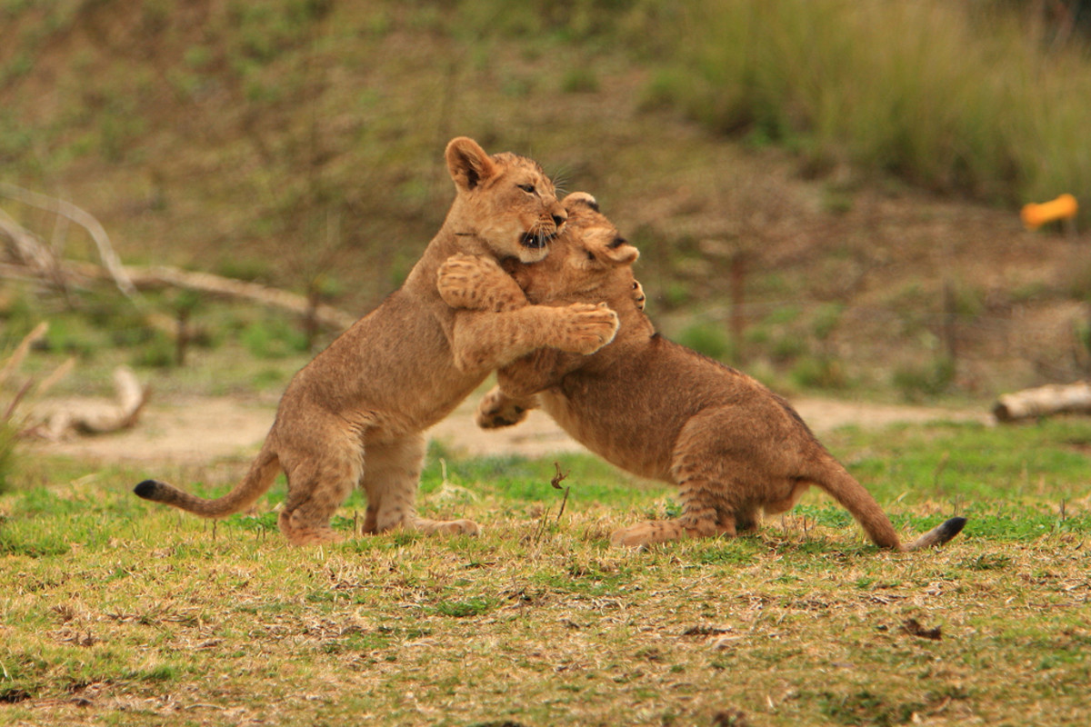 Another photo of lion cubs playing at the San Diego Wild Animal Park