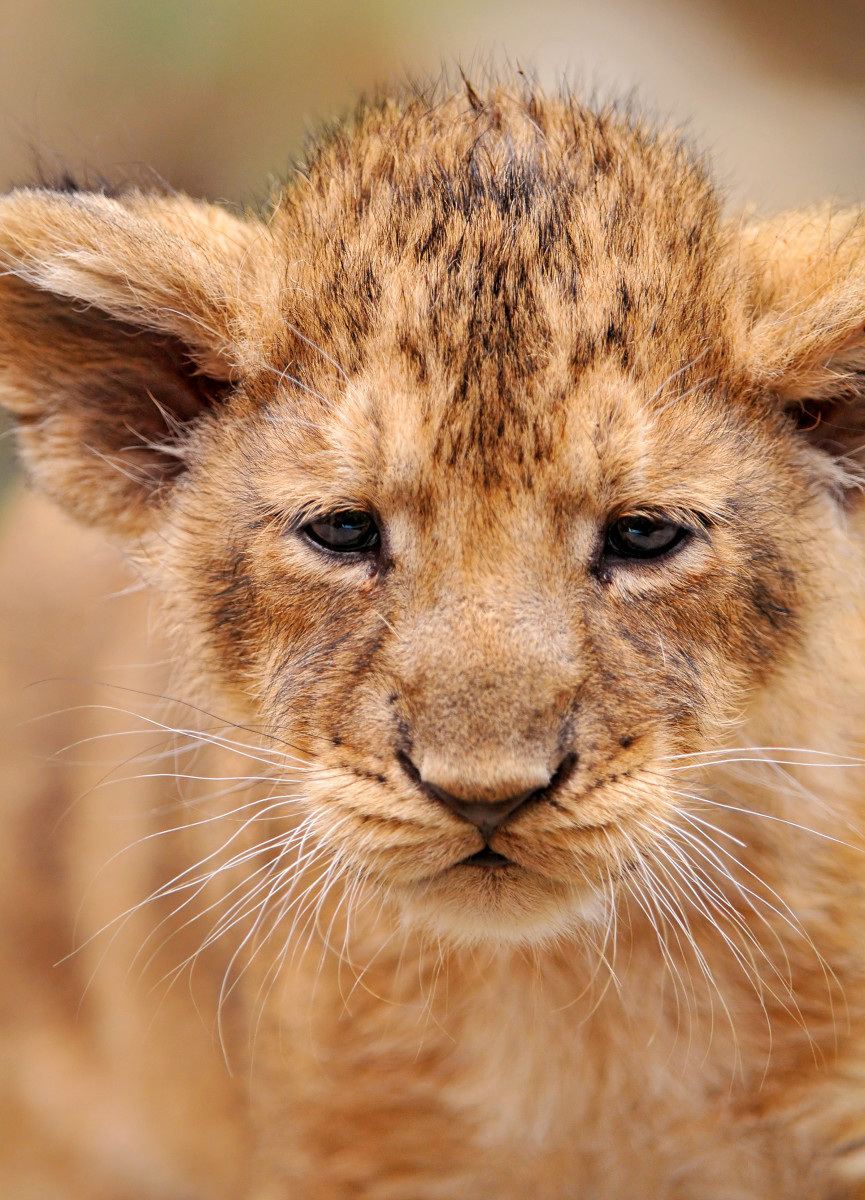 Closeup of a lion cub at the Zürich Zoo