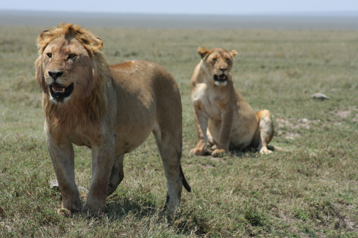 Two lions in the Serengeti National Park, Tanzania