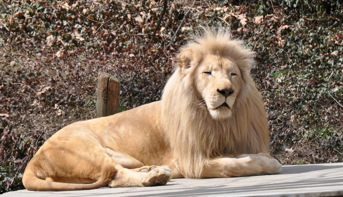 A white lion resting at the Cincinnati Zoo