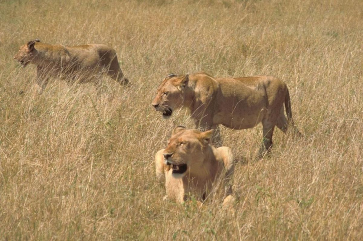 Lions hunting in Africa