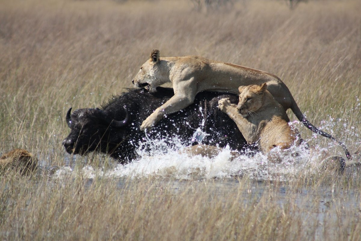 Eight lions stalking a herd of about 100 water buffalo in Okavango Delta, Botswana