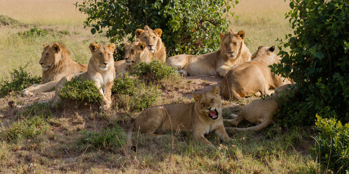A pride of lions at Masai Mara National Park in Kenya