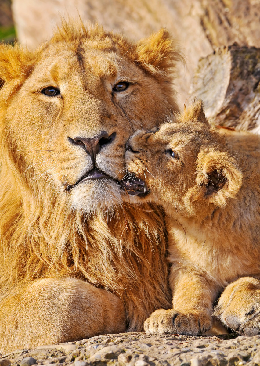Lion cub and older brother at the Zürich Zoo
