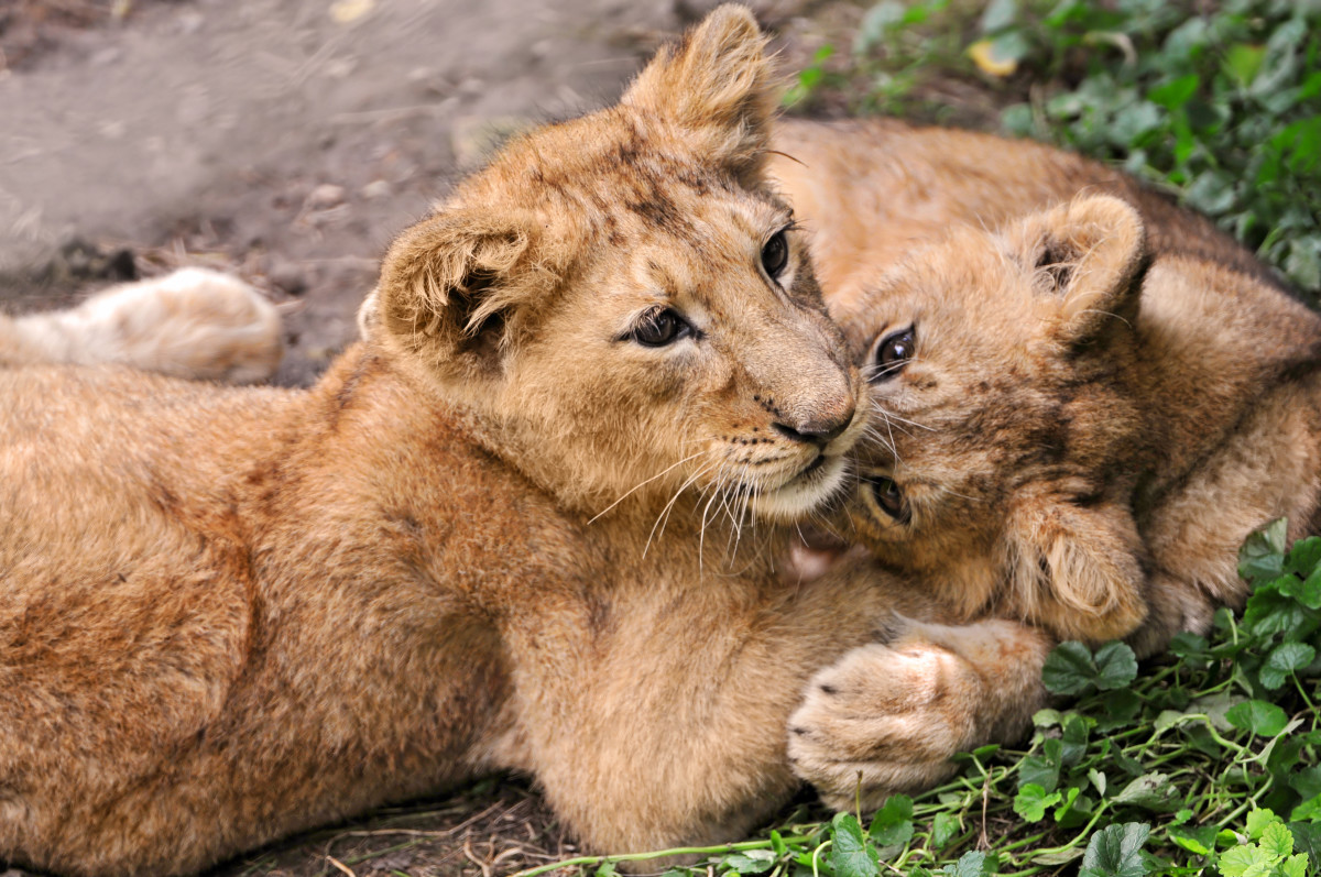 Brother and sister cubs at the Zürich Zoo