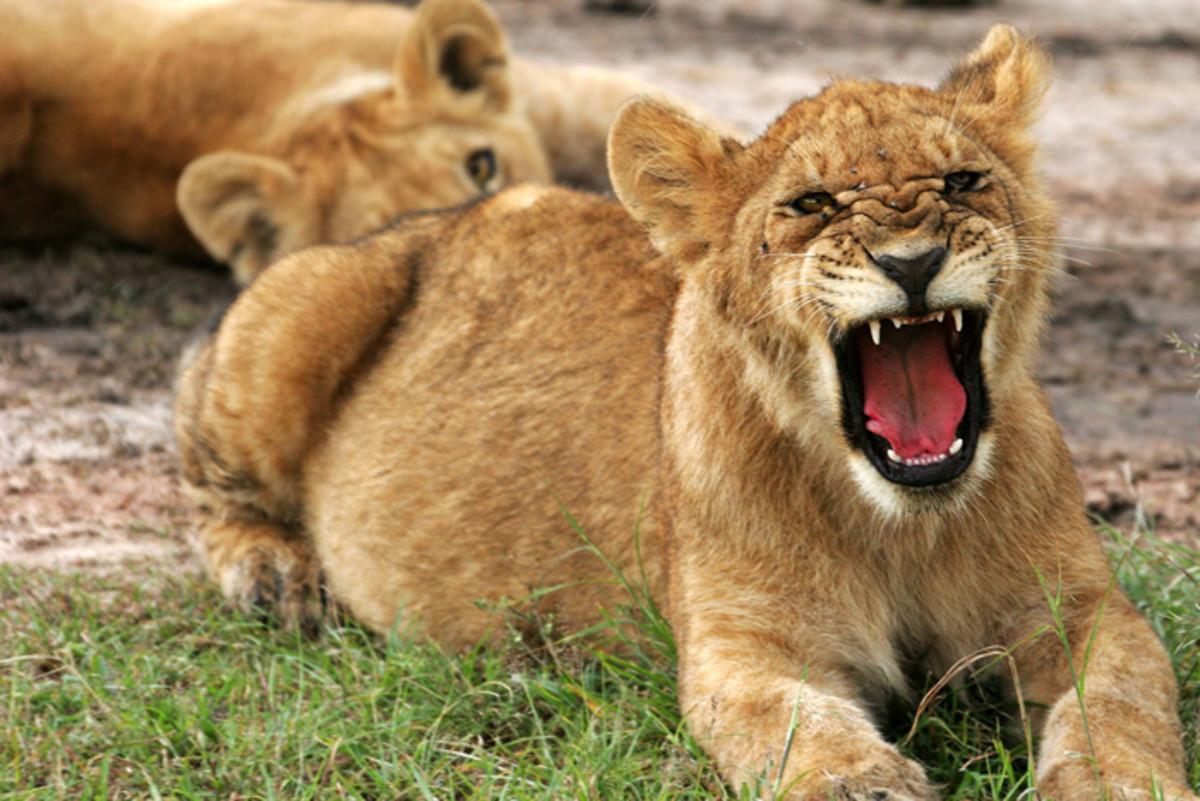 Lion cub roaring in Tanzania