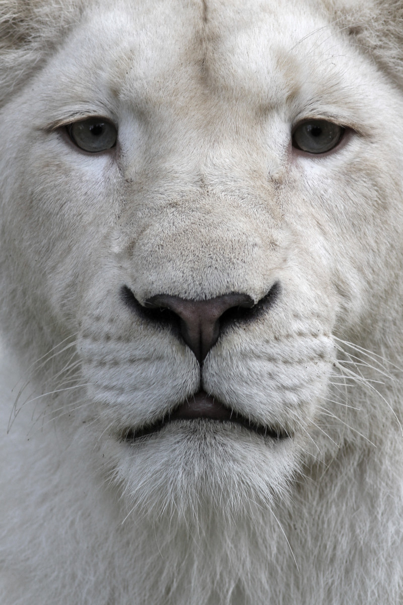 Closeup of a white lion
