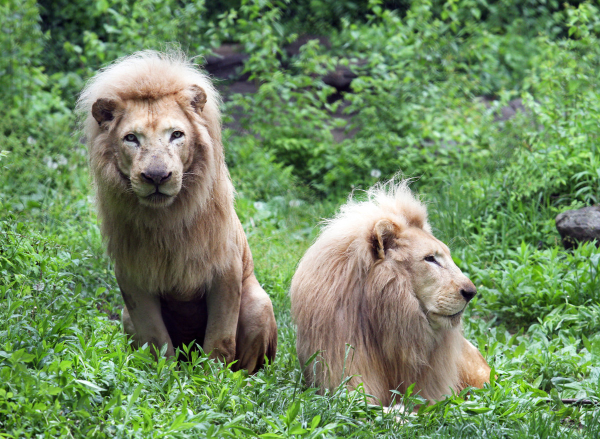 A pair of white lions at the Cincinnati Zoo