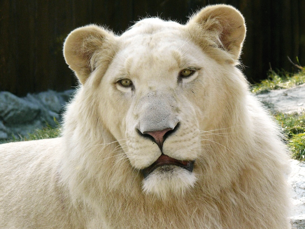 White lion at the Bratislava Zoo in Slovakia