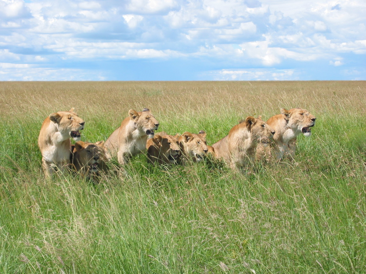 A pride of lions in the Masai Mara National Park in Kenya