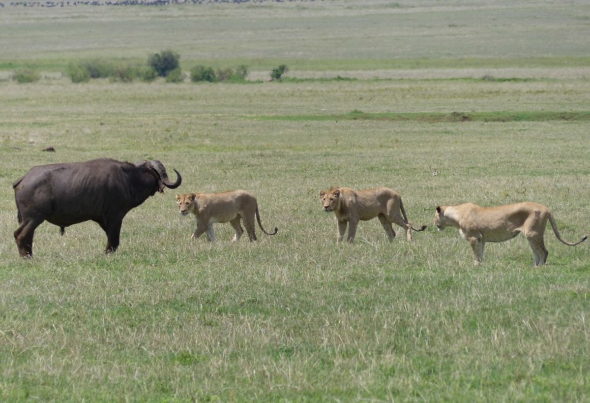 Three young lions hunt a buffalo in Tanzania