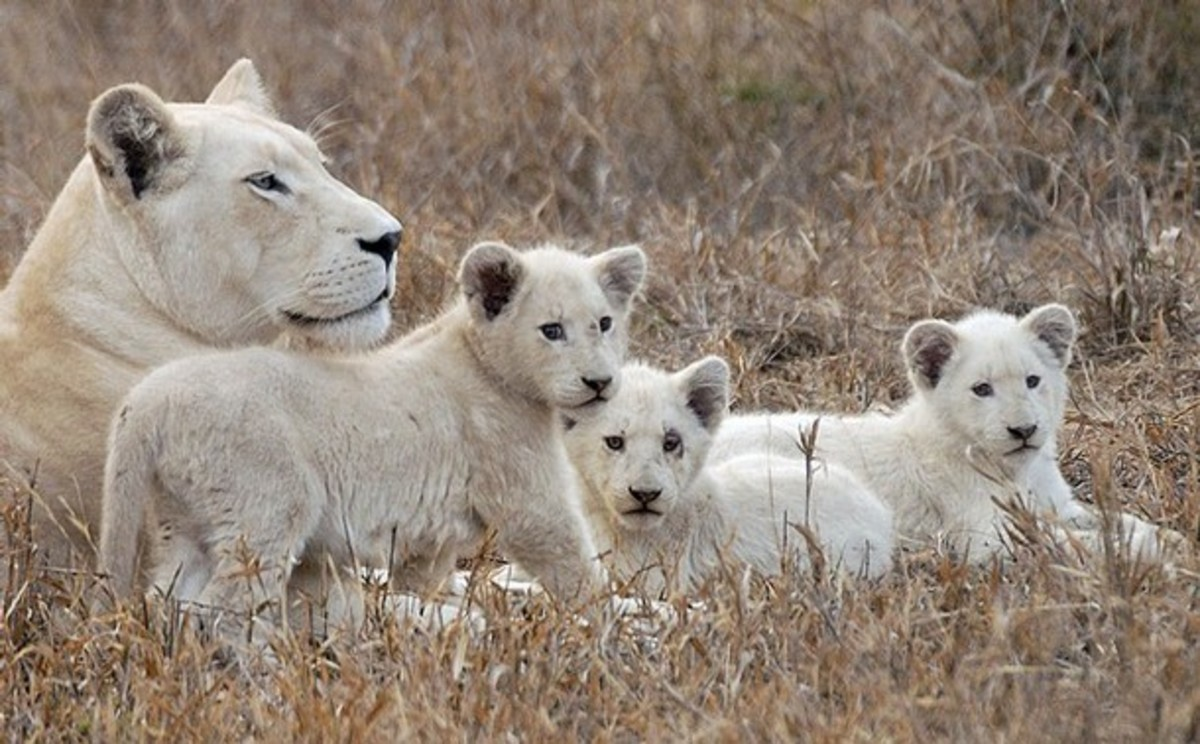 A white lioness and her cubs at the Global White Lion Protection Trust game reserve in Timbavati