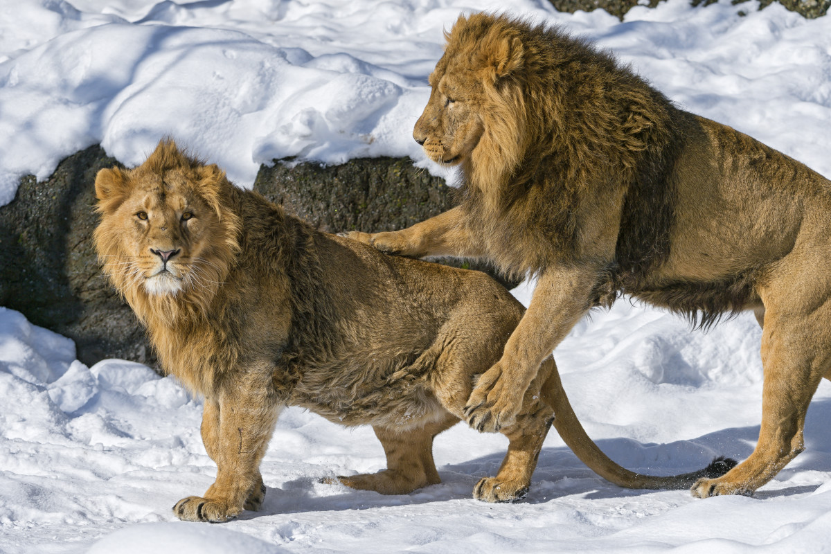 Two male lions at the Zürich Zoo