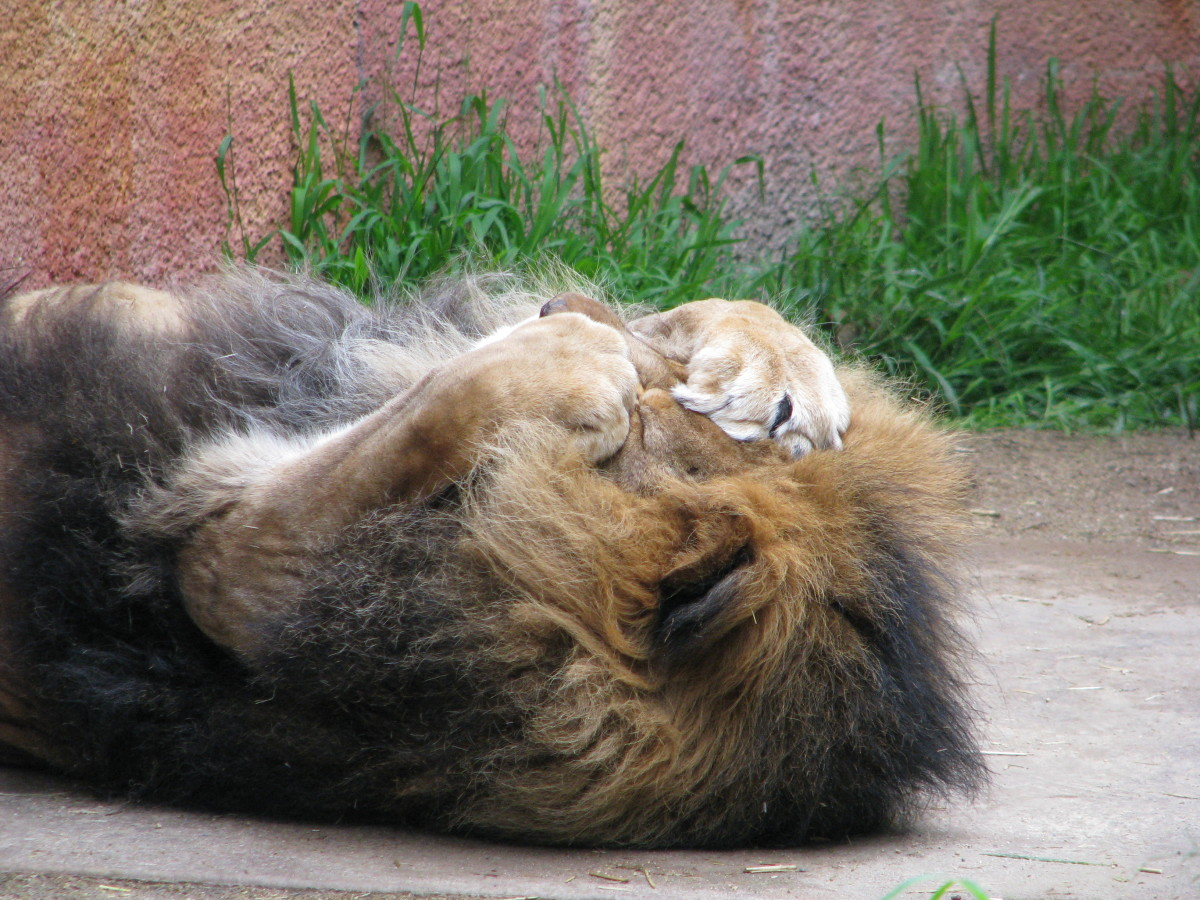 Lion sleeping and covering eyes