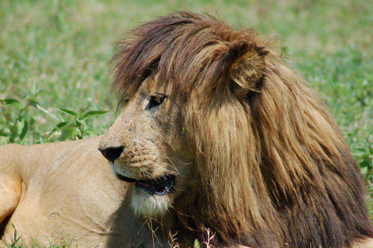 Lion at Ngorongoro Crater, Tanzania
