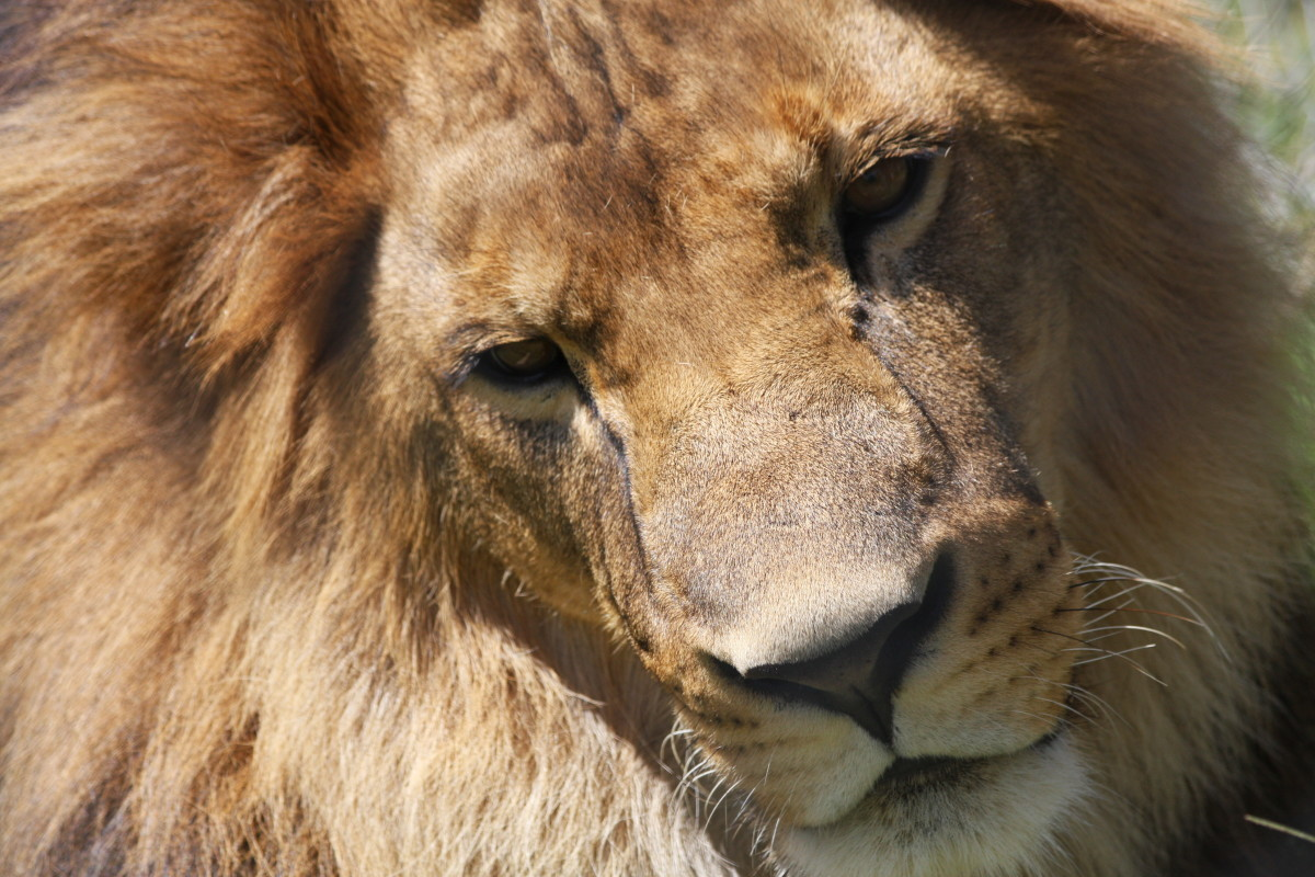 Closeup of a lion in Kenya