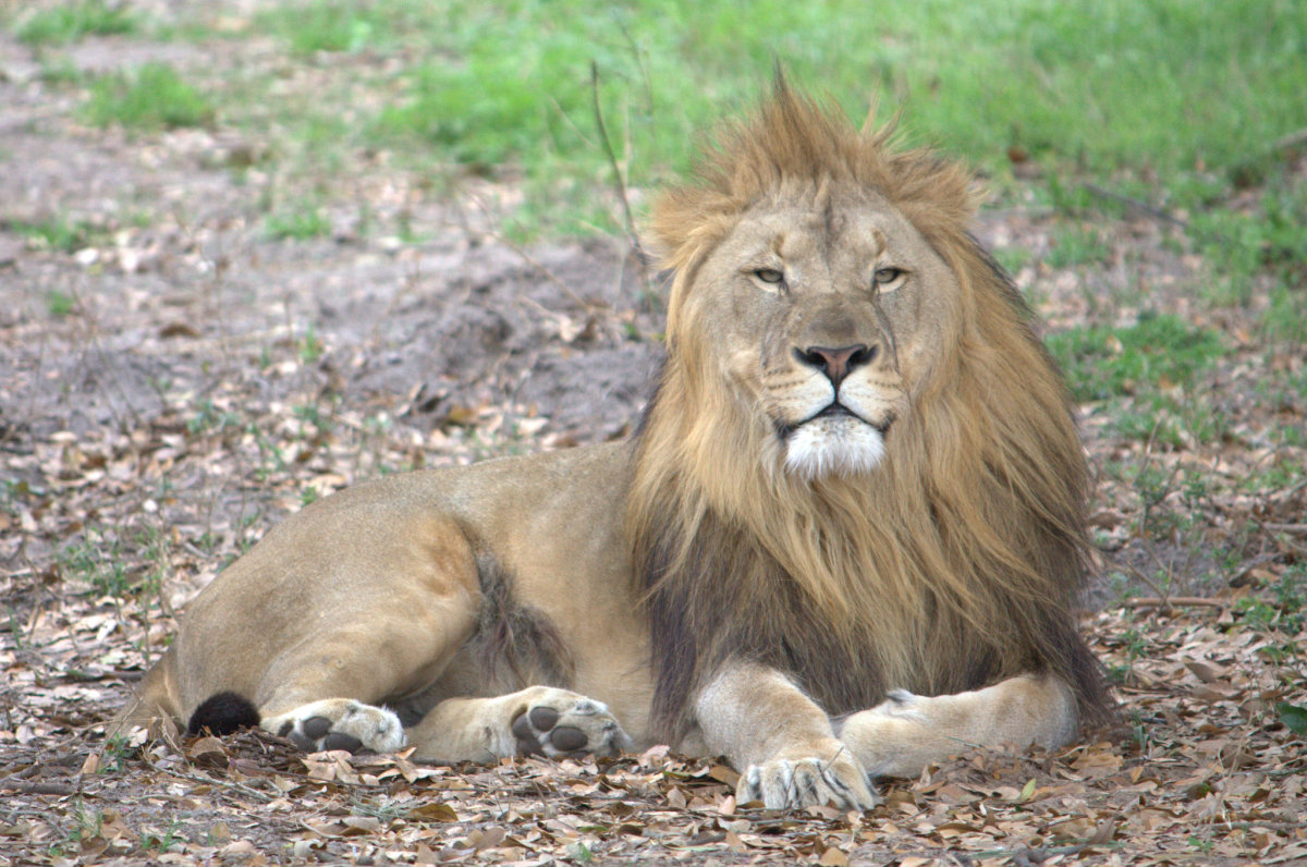 Lion resting at the Jacksonville Zoo in Florida