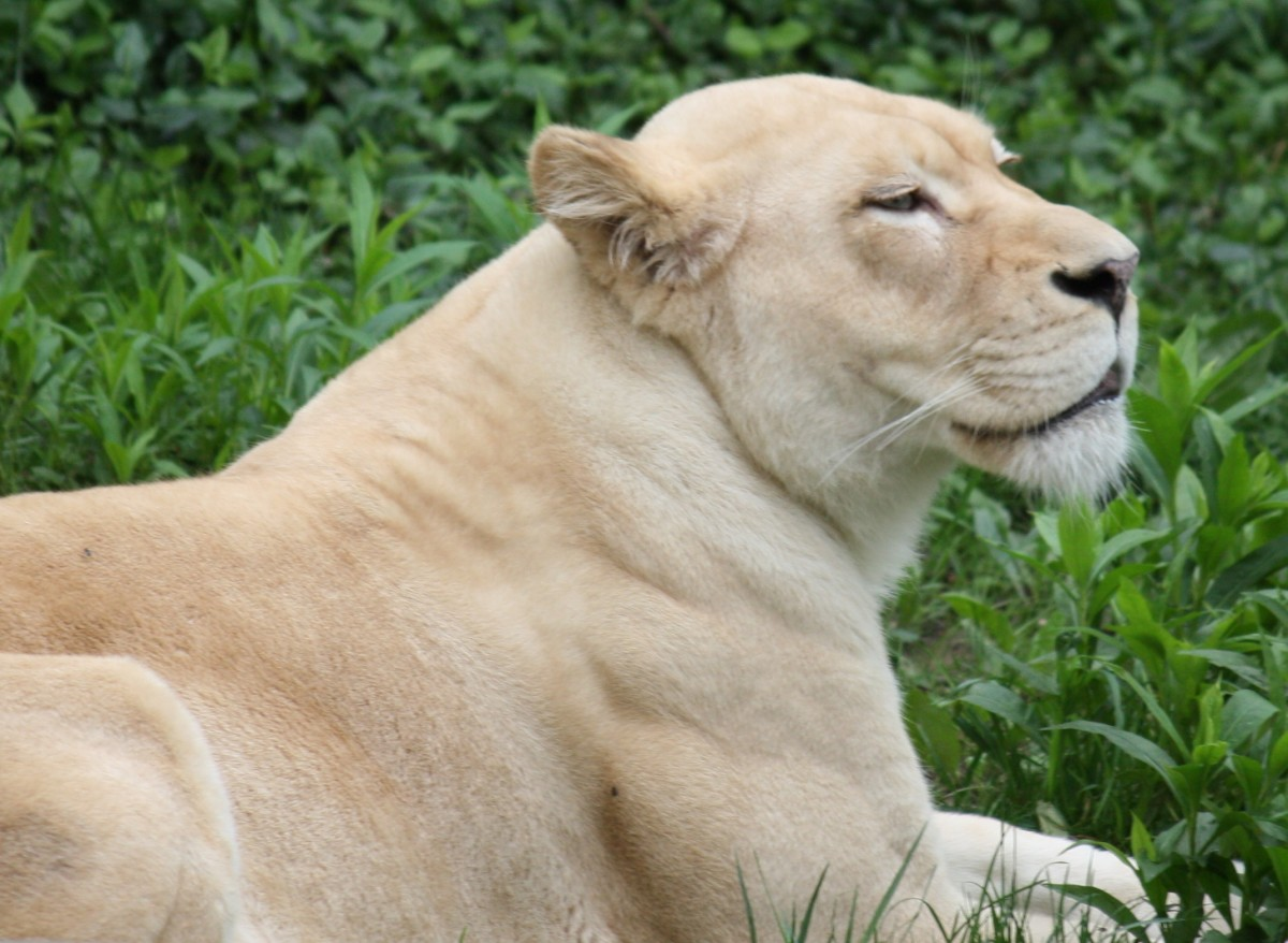 White lioness at the Cincinnati Zoo in Ohio