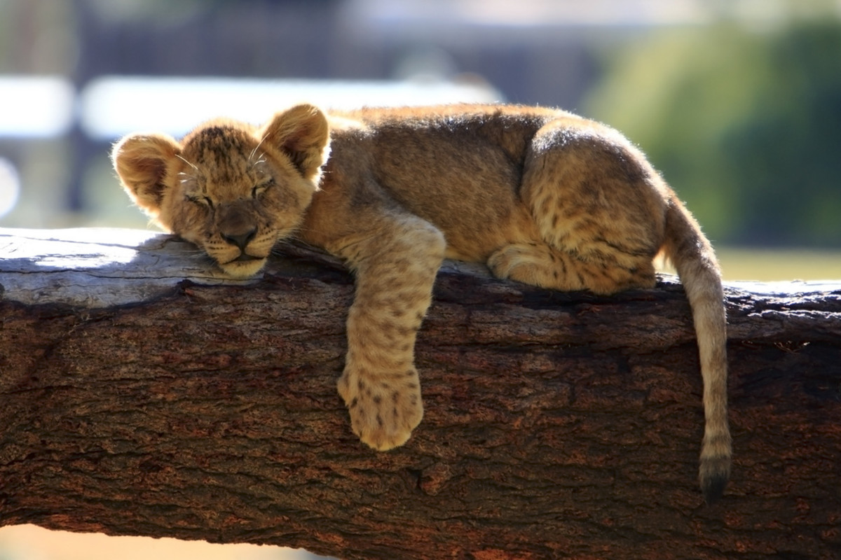 Lion cub sleeping at the San Diego Wild Animal Park