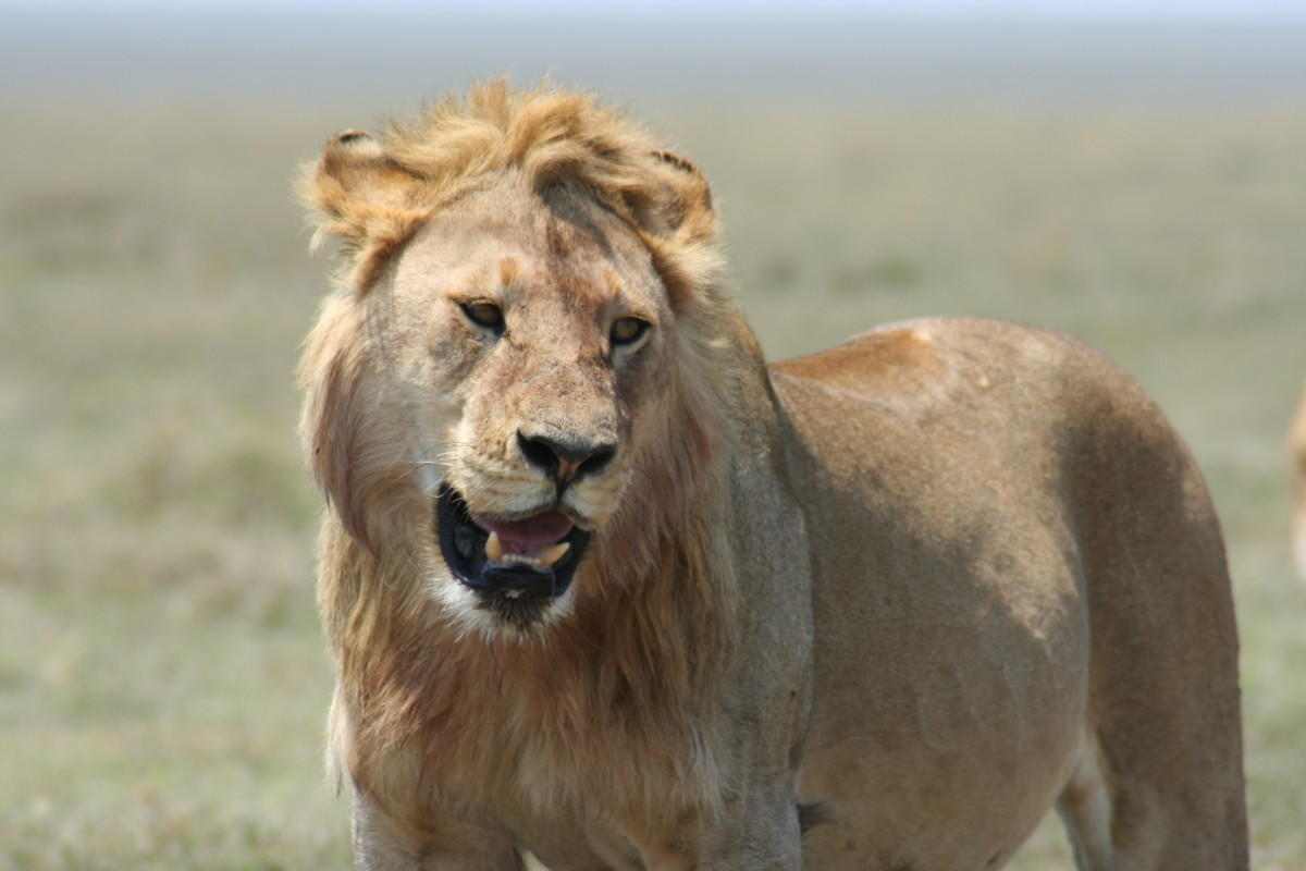 Young male lion in the Serengeti National Park, Tanzania