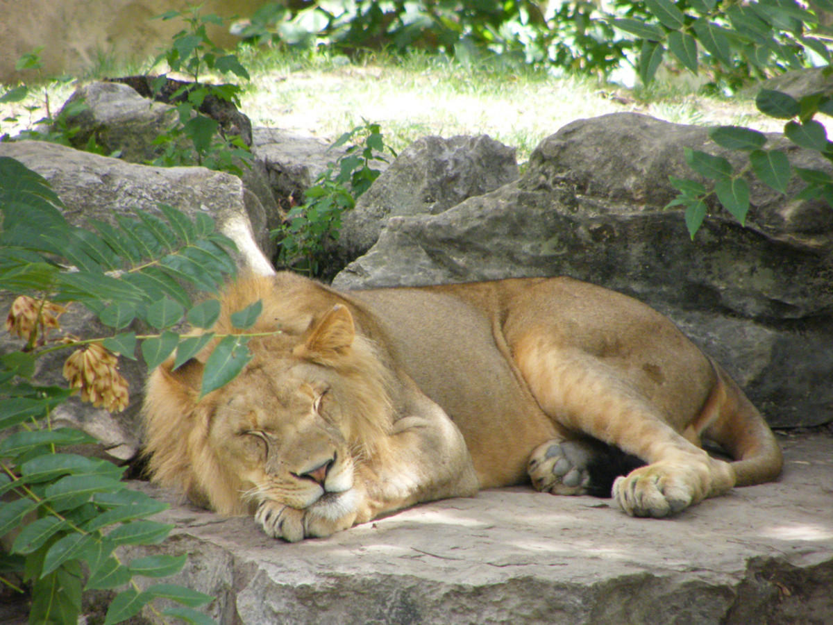 Lion resting at the St. Louis Zoo