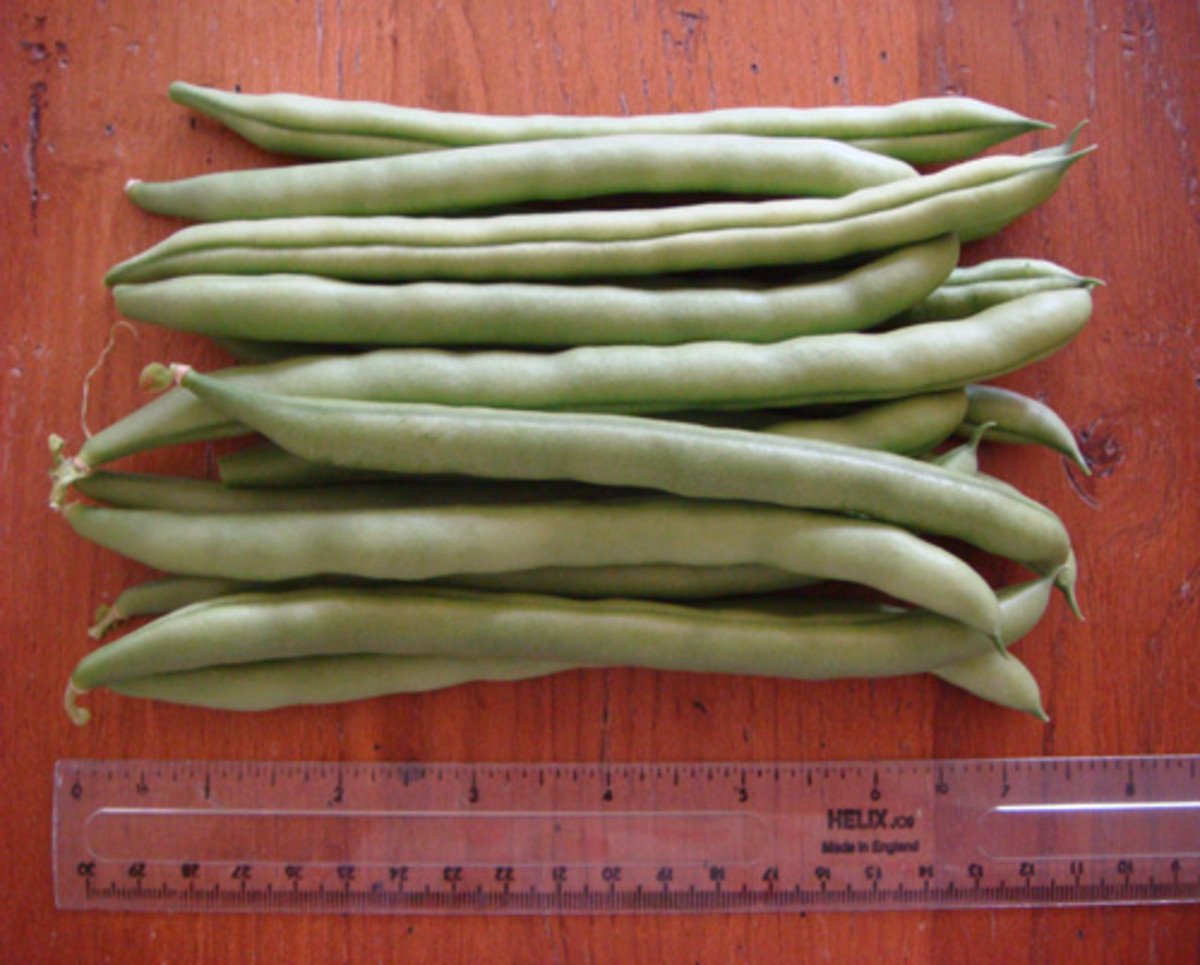 the-idiots-guide-how-to-grow-french-beans-from-seed-in-the-kitchen-or-greenhouse