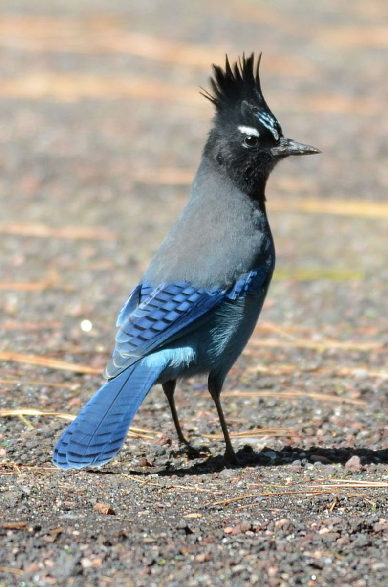Stellar's Jay was discovered west of the Rocky Mountains in 1741.