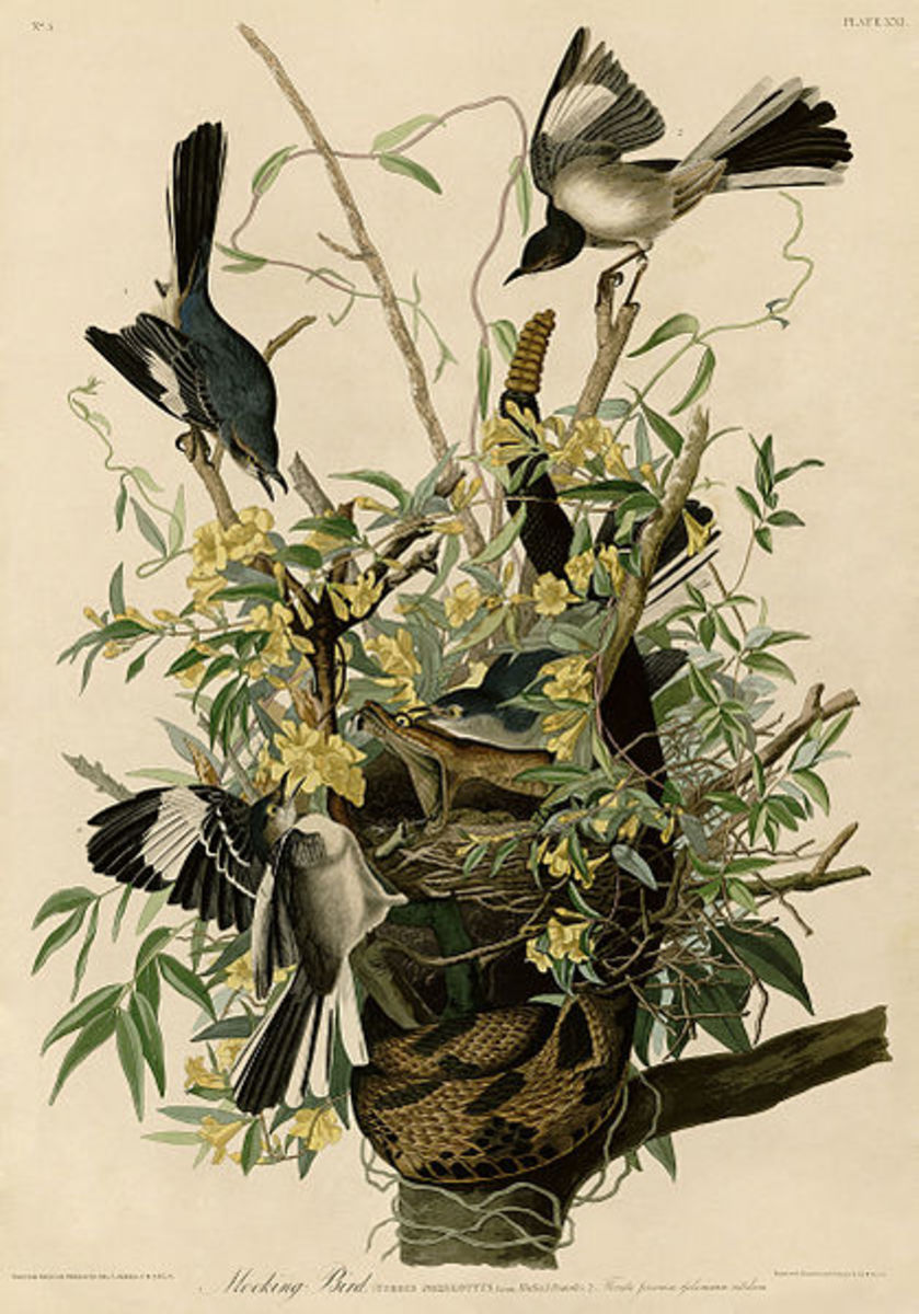 Northern Mockingbirds attacking a rattlesnake. Plate 21 of Birds of America by John James Audubon.