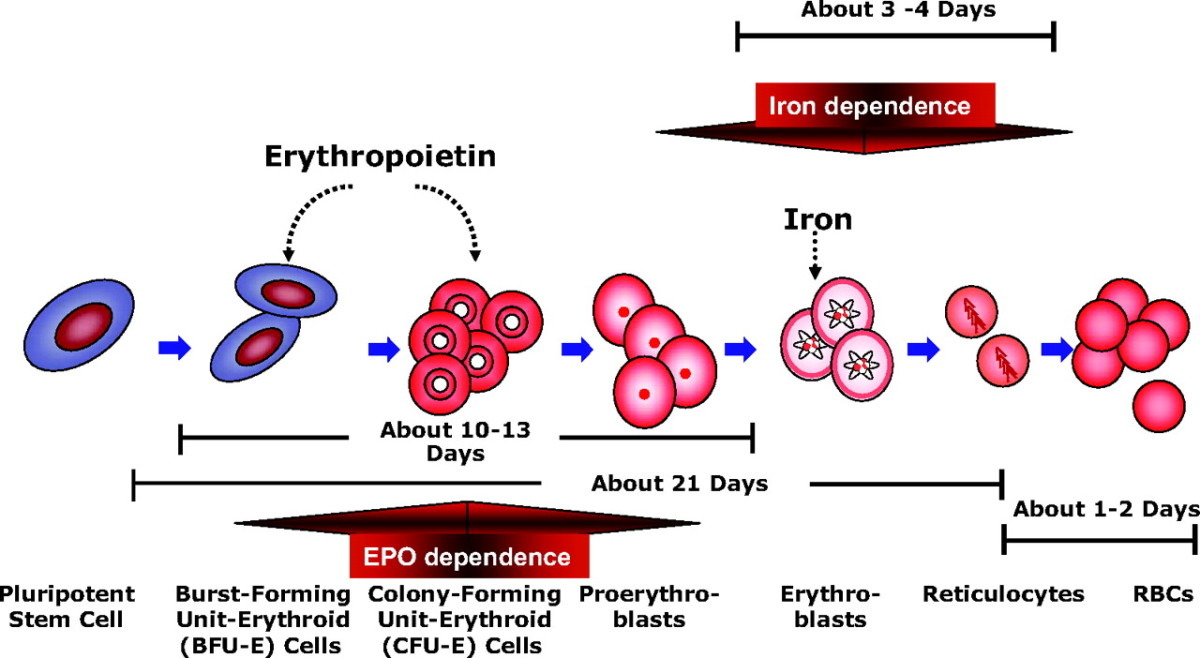erythrocyte and hemoglobin relationship questions