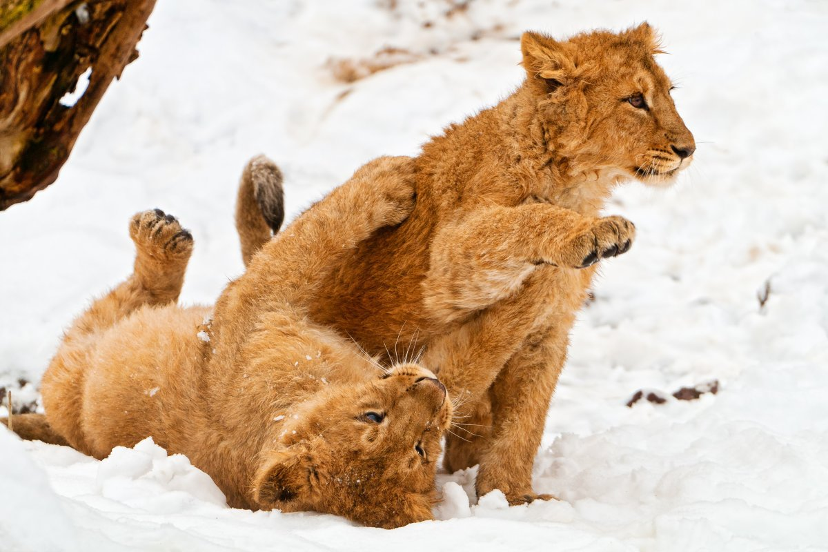 Cubs playing in the snow at the Zürich Zoo