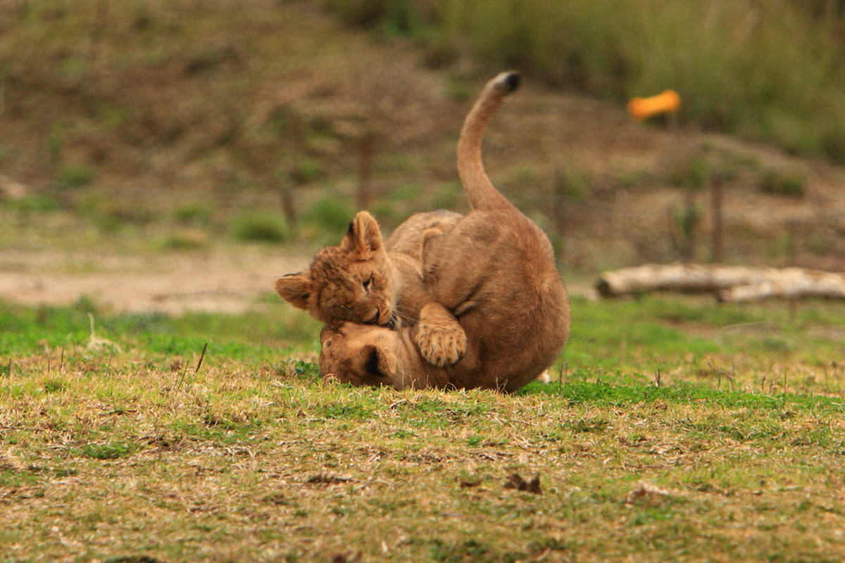Lion cubs playing at the San Diego Wild Animal Park