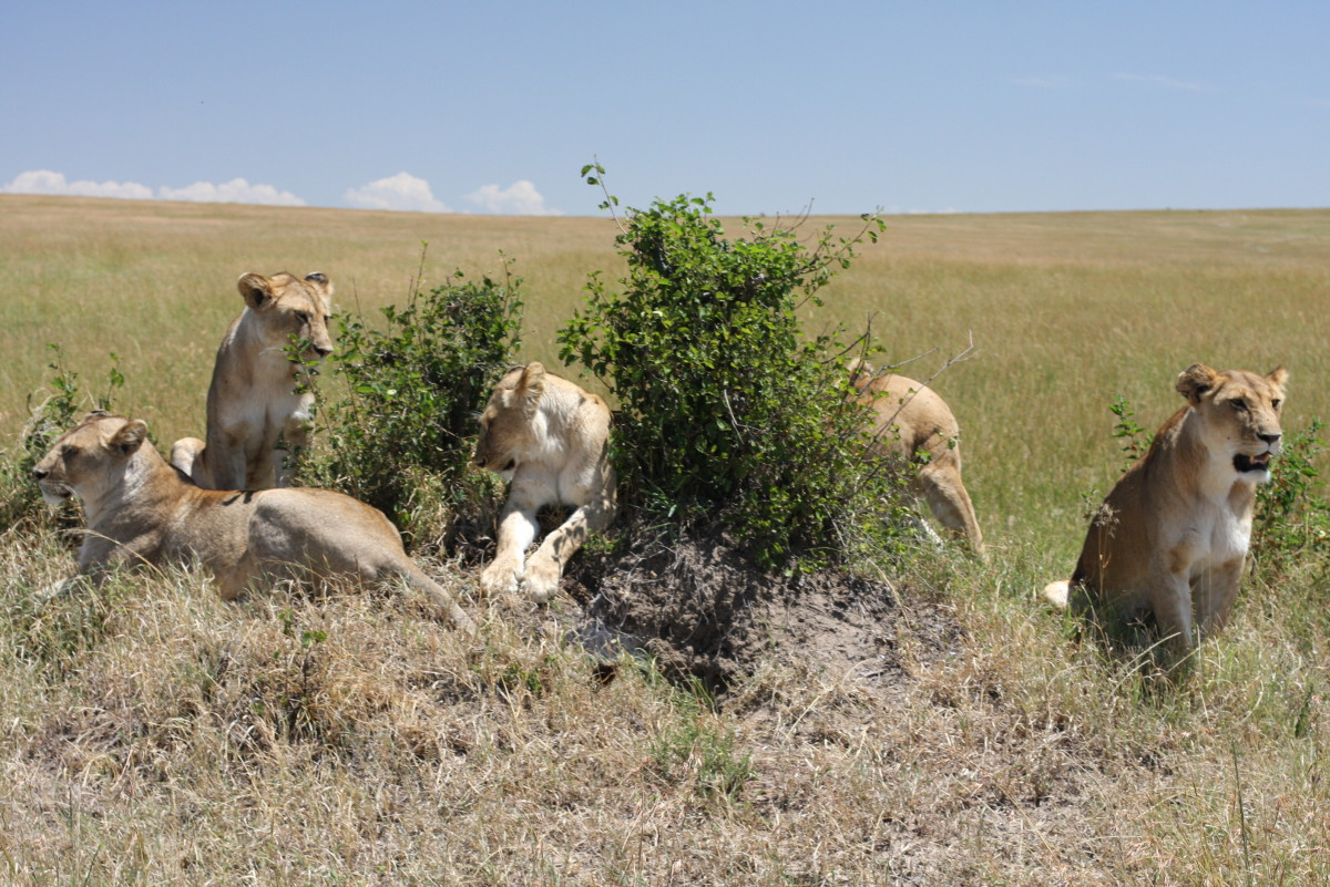 Lions hunting in Kenya