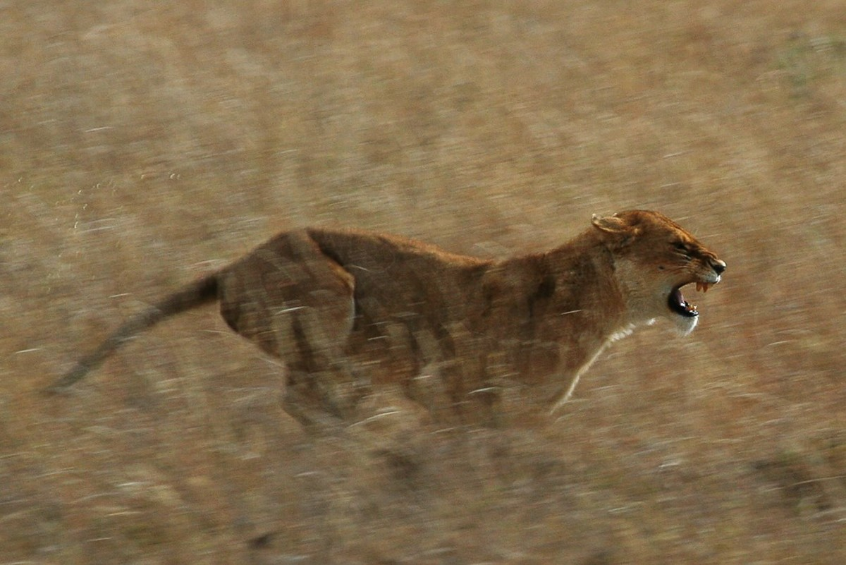 Lioness hunting worthogs in the western corridor of the Serengeti