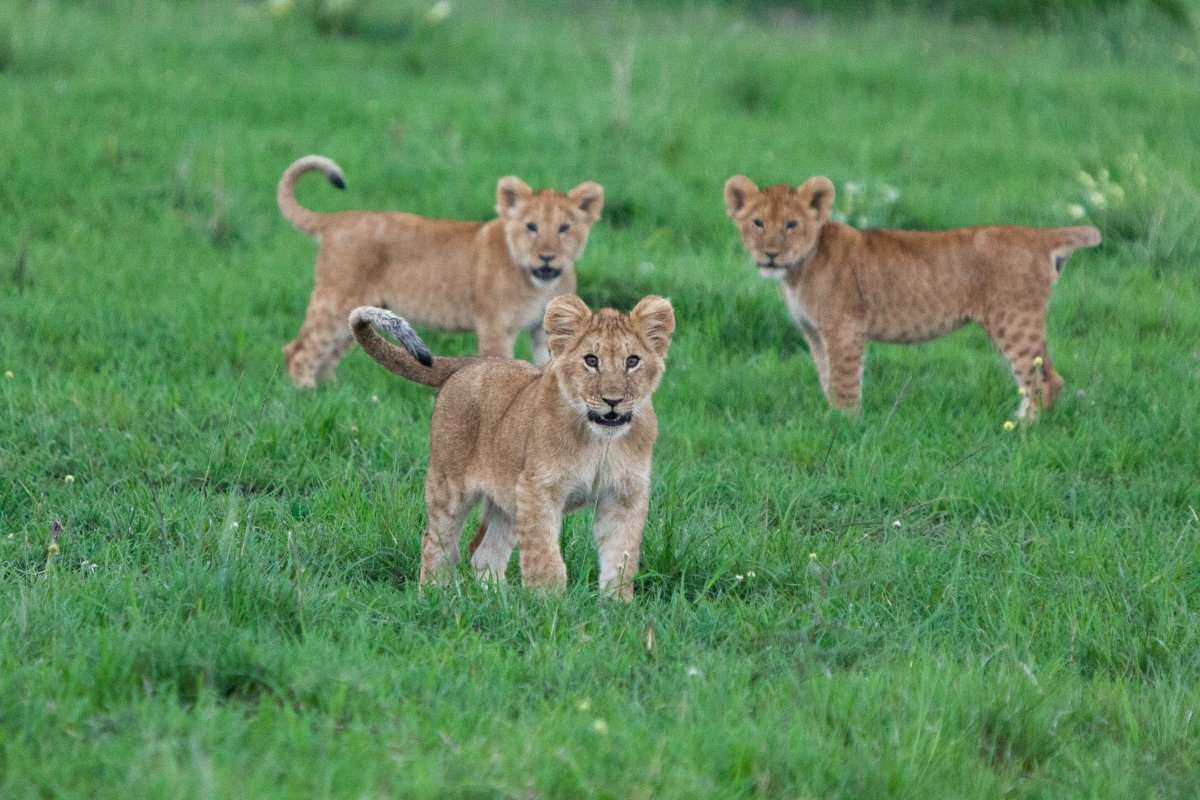 Three lion cubs in Kenya