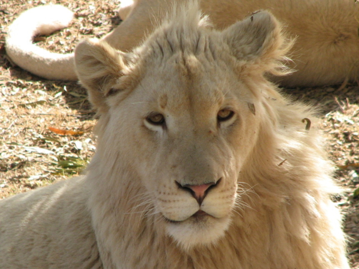 A white lion at the Wildlife Ranch in South Africa