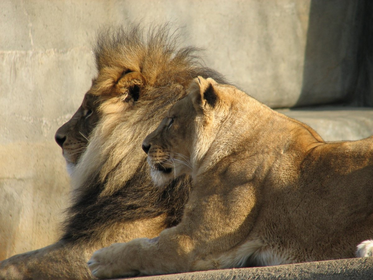 Lions at the Louisville Zoo in Missouri