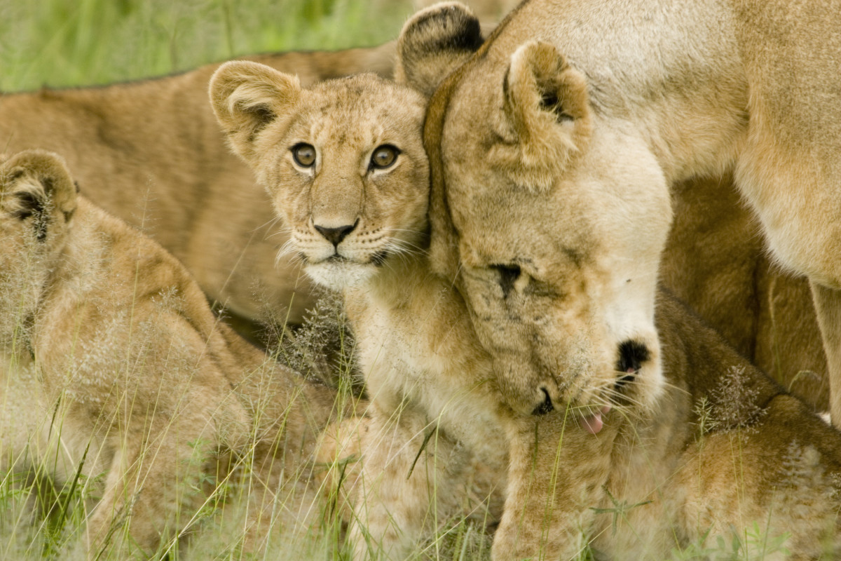 A lioness and her cub in the Serengeti
