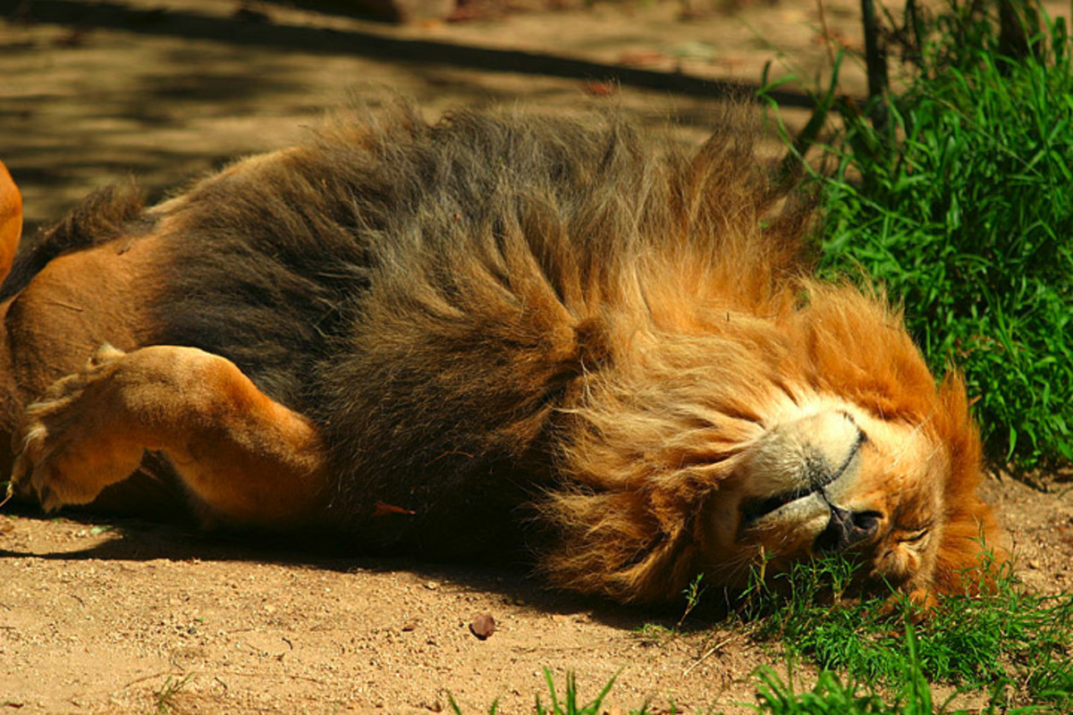 Lion sleeping at the San Diego Zoo